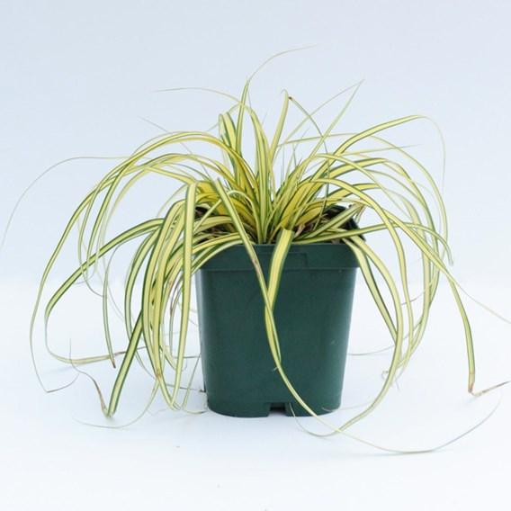 Carex Oshimensis Evergold 3 Litre Pot x 2 Inc: