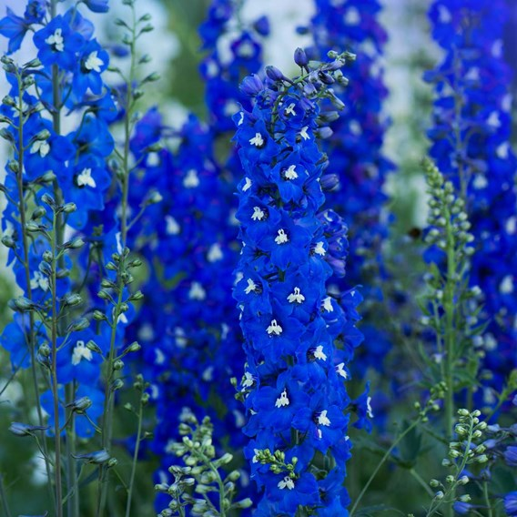 Delphinium Pacific Giants Blue Bird 1 Litre Pot x 2 Inc: