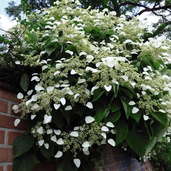 Hydrangea Anomala Petiolaris 2 Litre Pot x 1