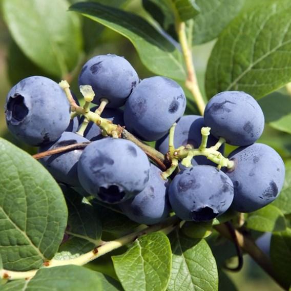 Blueberry (Vaccinium) Bluecrop