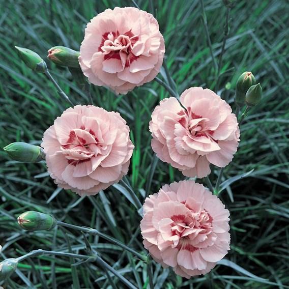 Dianthus (Pinks) Doris 12cm Pot x 2 Inc: