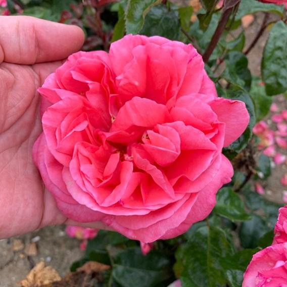 Rose (Bush) Special Anniversary 3 Litre Pot x 1