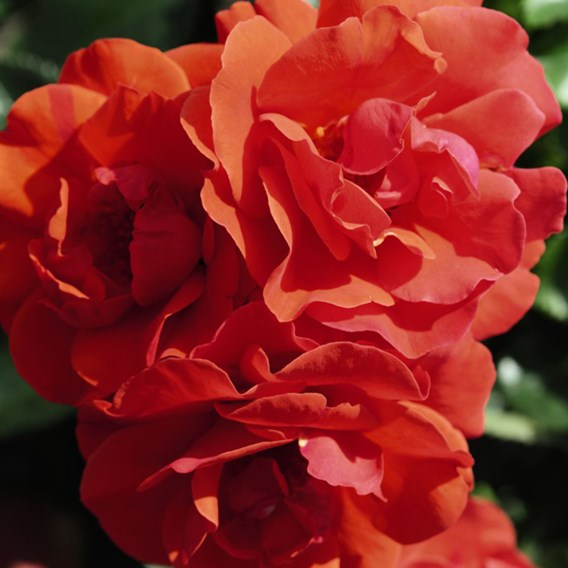 Rose (Bush) Precious Love 3 Litre Pot x 1