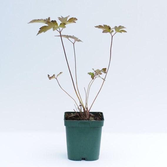 Anemone Hybrida Serenade 1 Litre Pot x 2