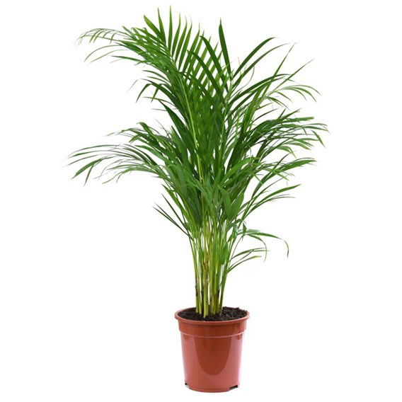 Areca Dypsis Palm Tree (Golden Cane Palm) 13cm Pot x 2 Inc: