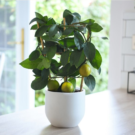 Citrus Meyer Lemon on Trellis 15cm Pot x 2 Inc: