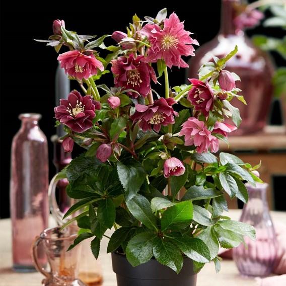 Helleborus orientalis Plant - Double Ellen Red
