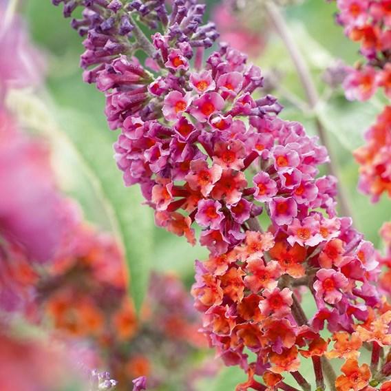 Buddleja dav. Flower Power