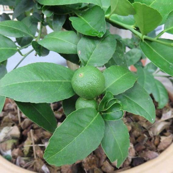 Lime (Citrus) Fruiting Bush 14cm Pot x 1