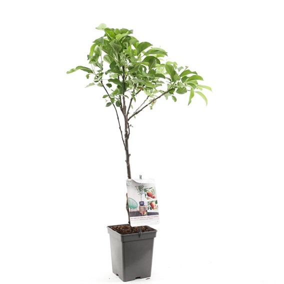 Apple (Malus) Duo-apple (M9) 5L Pot x 1