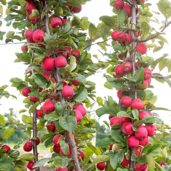 Fruit Malus Appeltini 13cm Pot x 2 Inc: