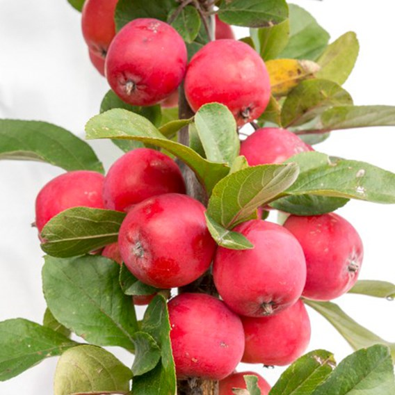 Apple (Malus) Appeltini 13cm Pot x 1