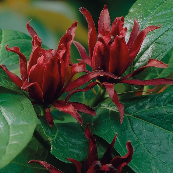 Calycanthus Duo 13cm Pot x 2 Inc: