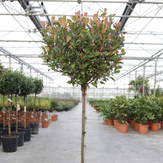 Photinia Fraseri (Standard) Red Robin