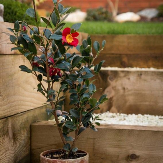 Camellia Yuletide 3 litre potted x 2 (60cm tall) Inc: