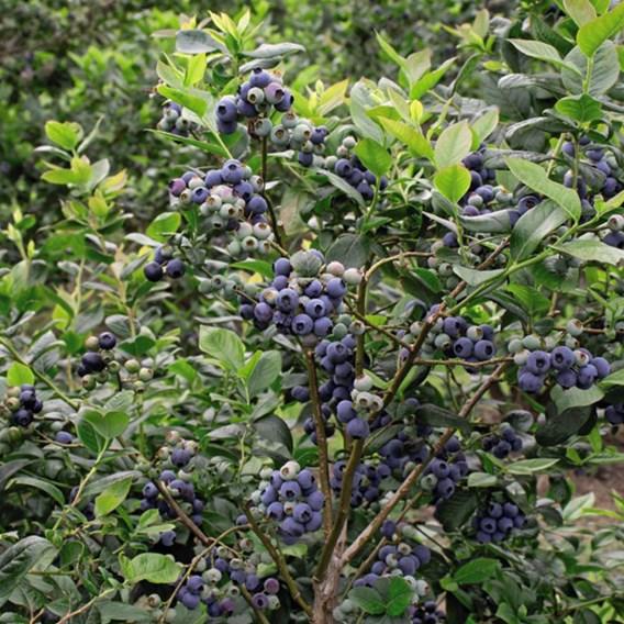 Blueberry (Vaccinium) Darrow 3L Pot x 1