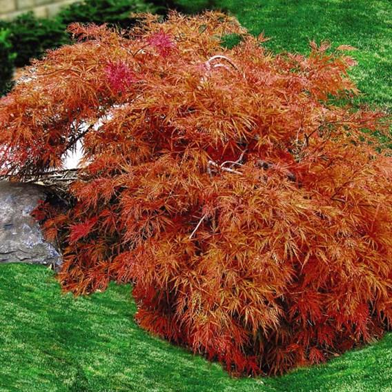 Acer Palmatum Dissectum 15 Litre Pot x 1