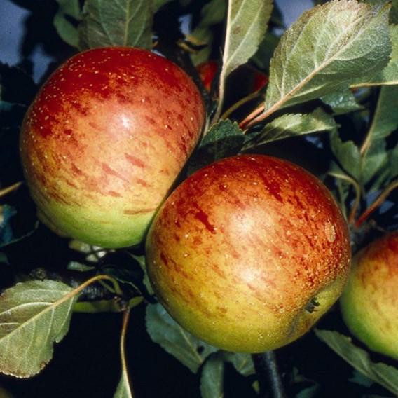 Apple (Malus) Sunset (MM106) 12L Pot x 1