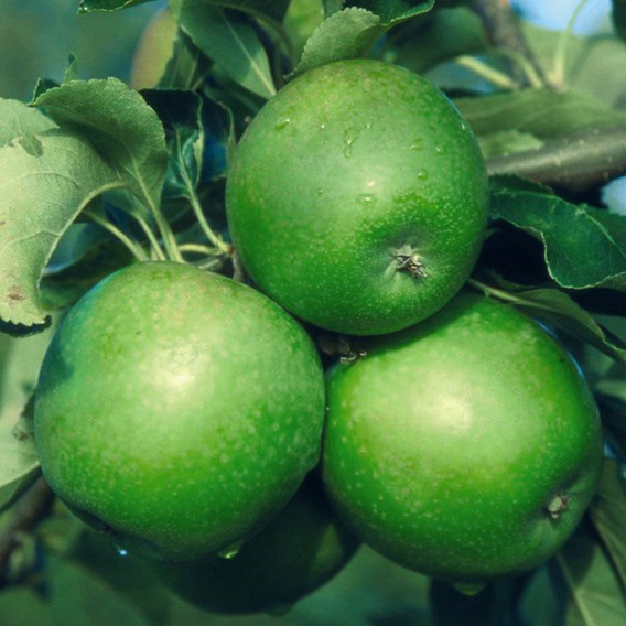 Apple (Malus) Granny Smith (MM106) 12L Pot x 1