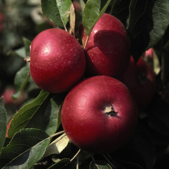 Apple (Malus) Discovery (MM106) 12L Pot x 1