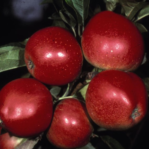 Apple (Malus) Worcester Pearmain (M27) 11.5L Pot x 1
