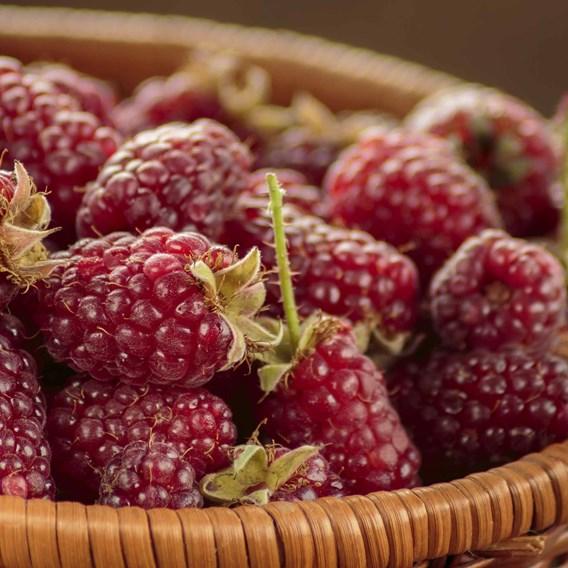Tayberry Plant - Buckingham