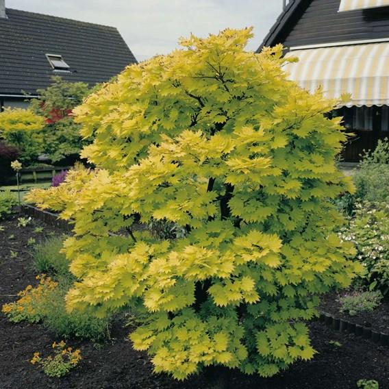 Acer Shirasawanum Moonrise 13cm Pot x 1