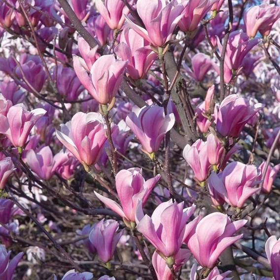 Magnolia Plant - Heaven Scent