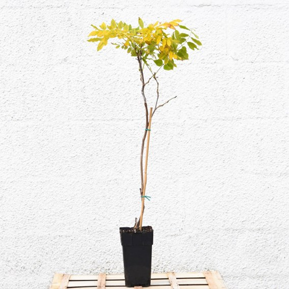 Wisteria Tree Standard