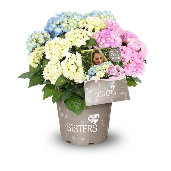 Hydrangea Three Sisters 2 Litre Pot x 1
