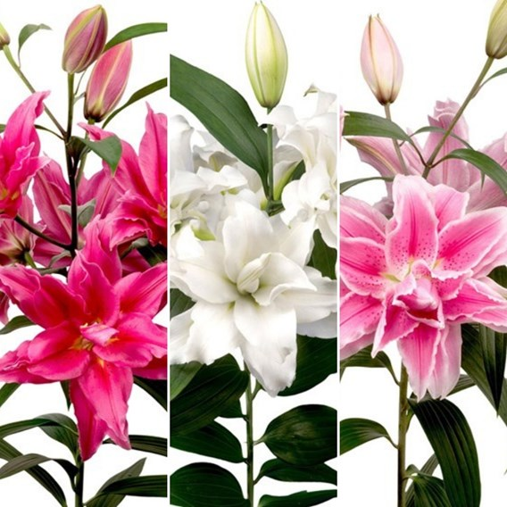 Roselily Collection (3)