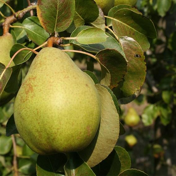 Pear Beurre Alexandre Lucas (1) BR