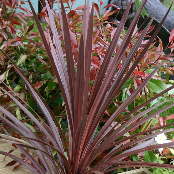 Cordyline Red Star