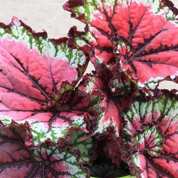 Begonia Satin Starburst