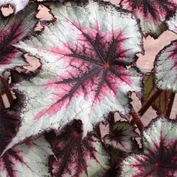 Begonia Silver Spirit