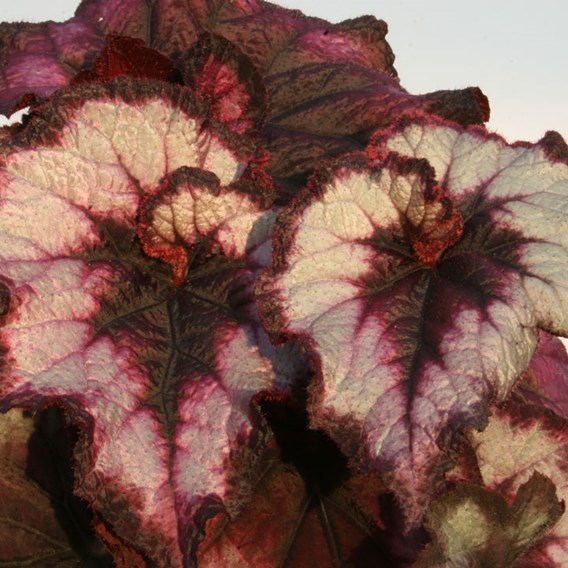 Begonia Blackberry Swirl