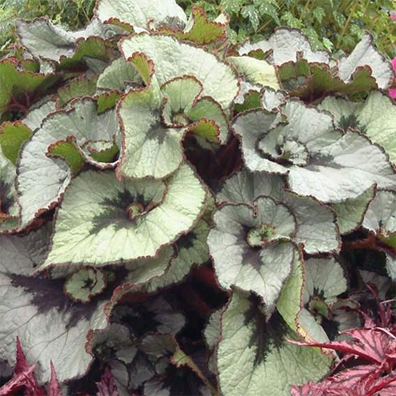 Begonia Namur
