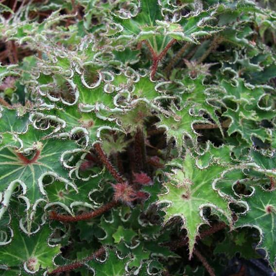 Begonia Sea Urchin