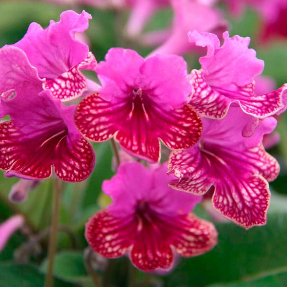 Streptocarpus Plant - Cariad