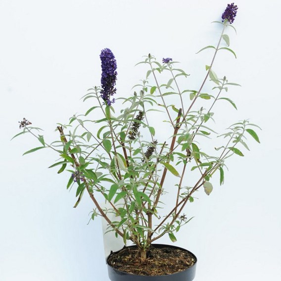 Buddleja davidii Plant - Black Knight