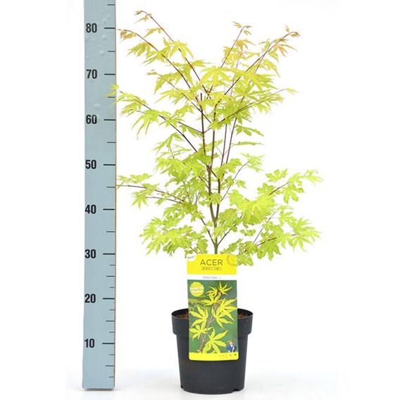 Acer Palmatum Plant - Anne Irene®