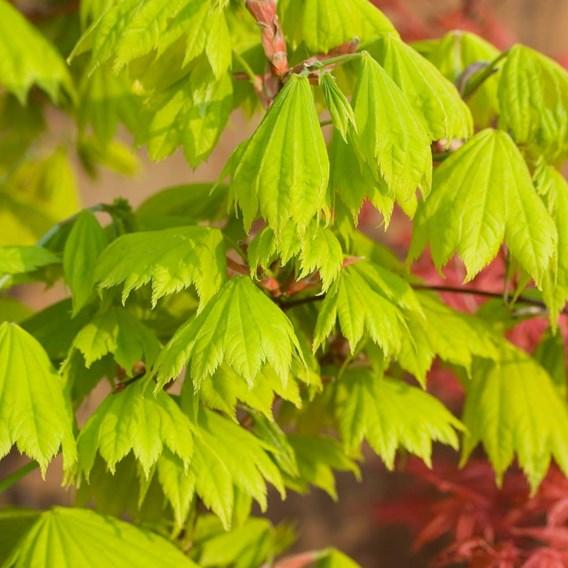 Acer Plant - shirasawanum Aureum