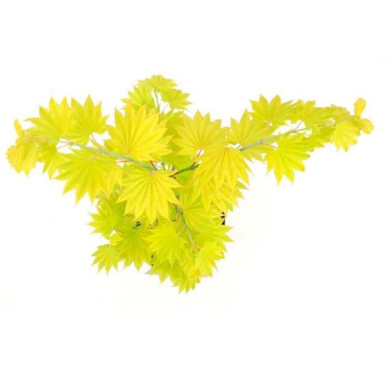 Acer shirasawanum Standard Plant - Aureum