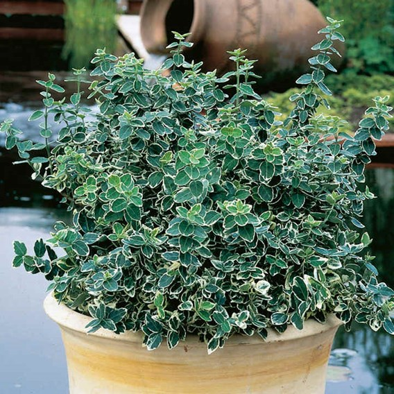 Euonymus Plant - Emerald Gaiety