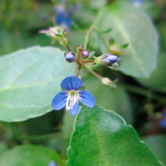 Veronica beccabunga Plant