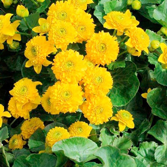 Caltha Palustris Plena Plant