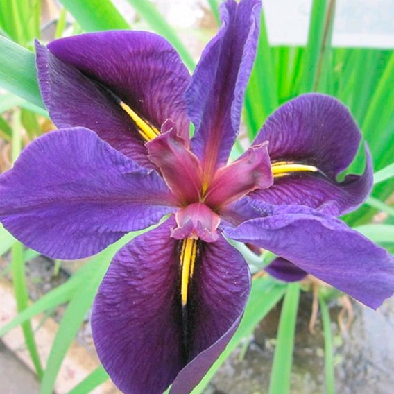 Iris Louisiana Black Gamecock 1Ltr