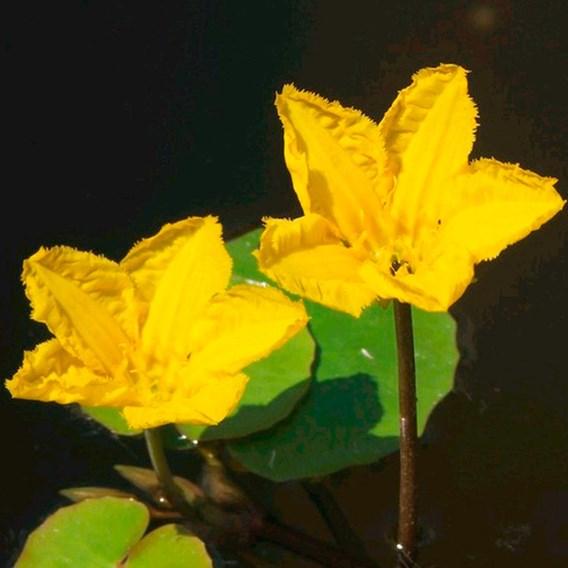 Nymphoides peltata Plant