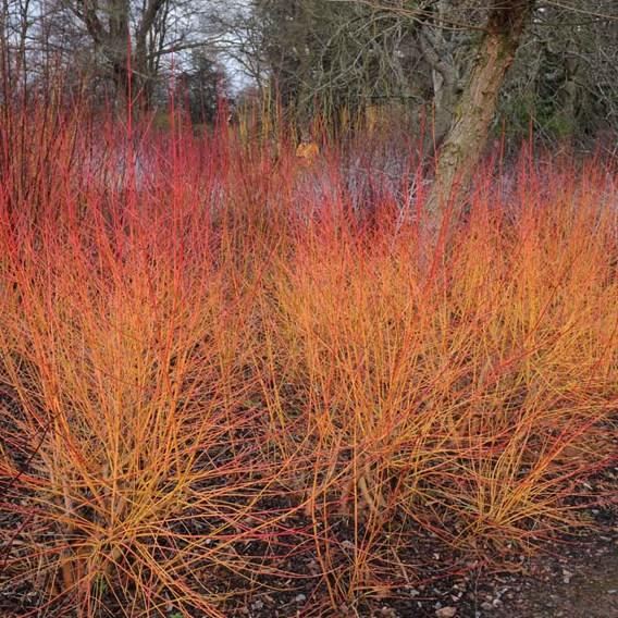 Cornus sanguinea Winter Beauty