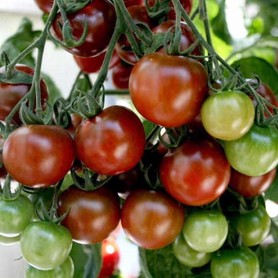 Grafted Tomato Plants - Lycocherry 1247